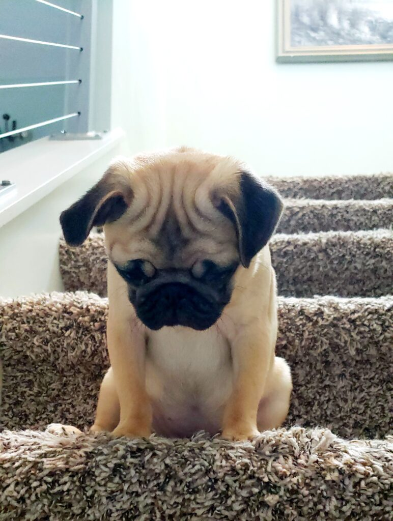 baby pug looking down