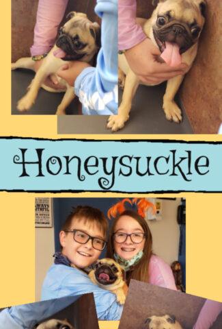 honeysuckle - pug puppy