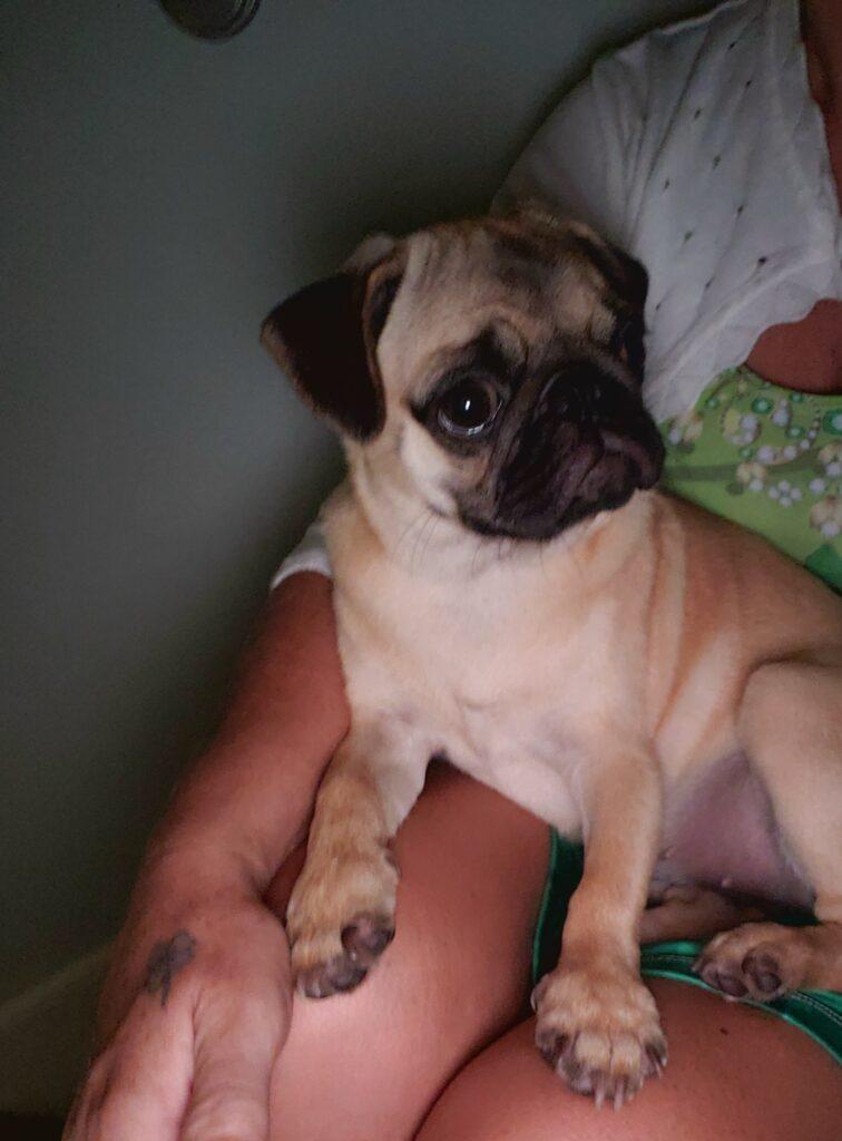 little puppy on a womans lap