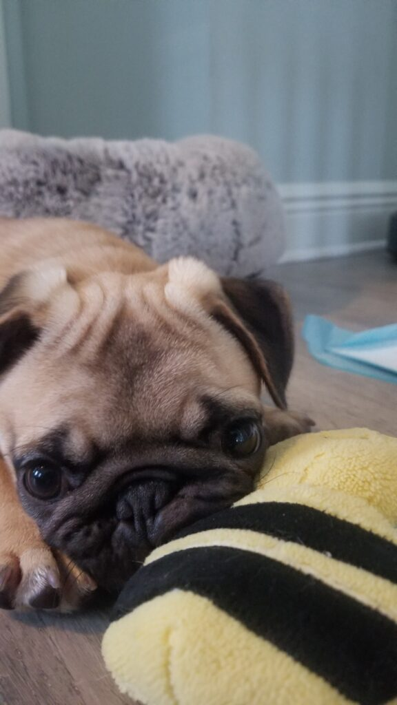 honey the pug chewing the bee