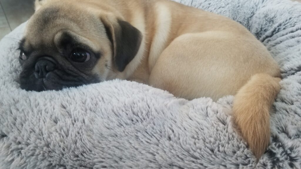 honey the pug snuggled up