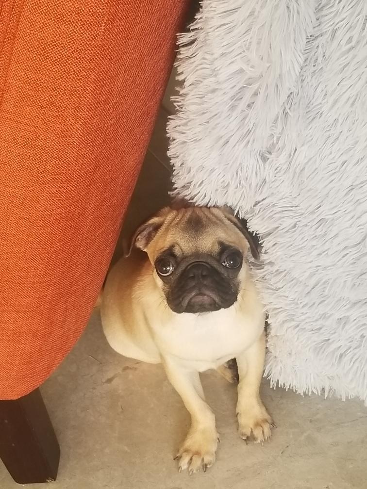 honey the pug looking up fron behind the couch