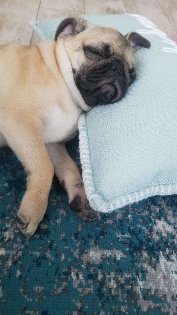honey the pug on a pillow