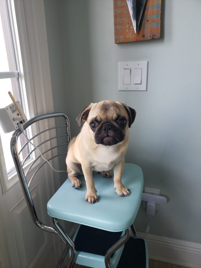 honey the pug on a stool by the door