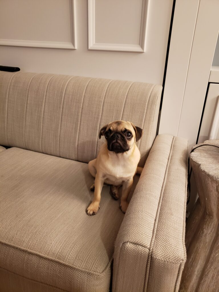 honey the pug on a couch