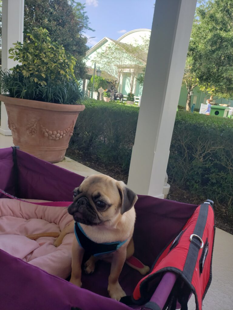 honey the pug on a stroller