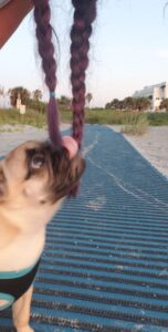 honey the pug at the beach