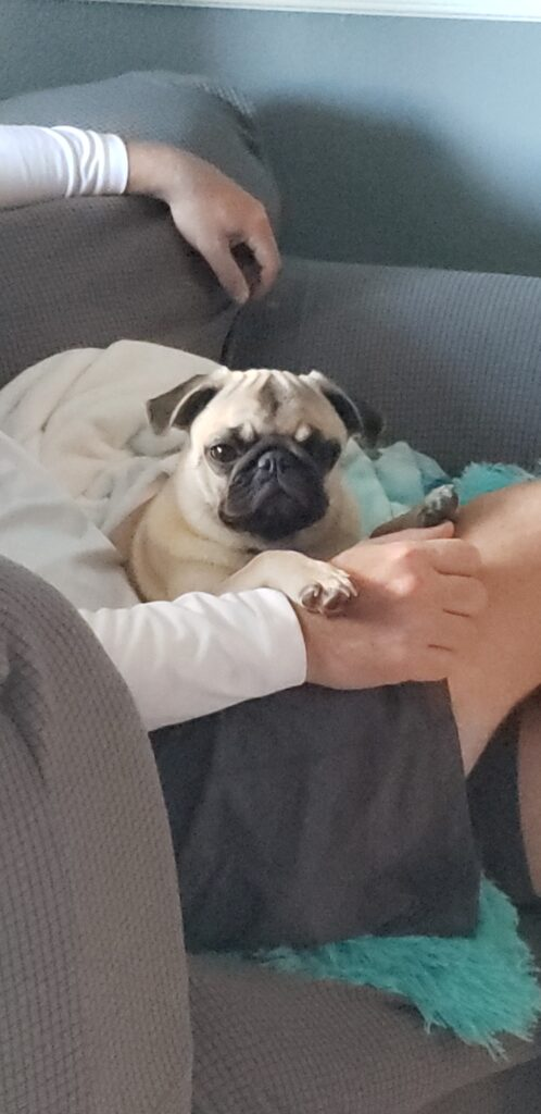honey the pug on a lap