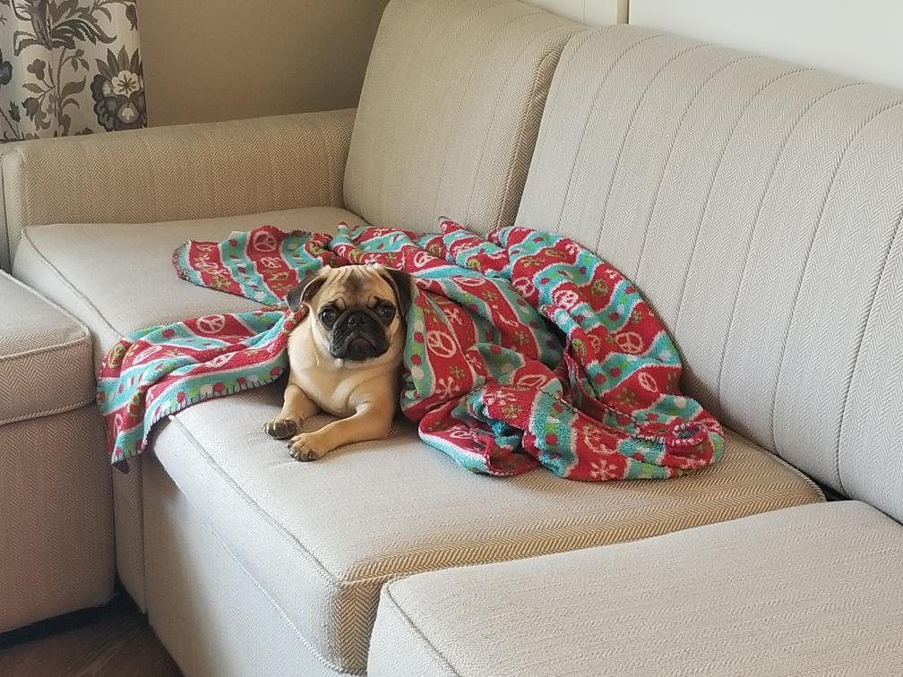 honey the pug on the couch with a blanket