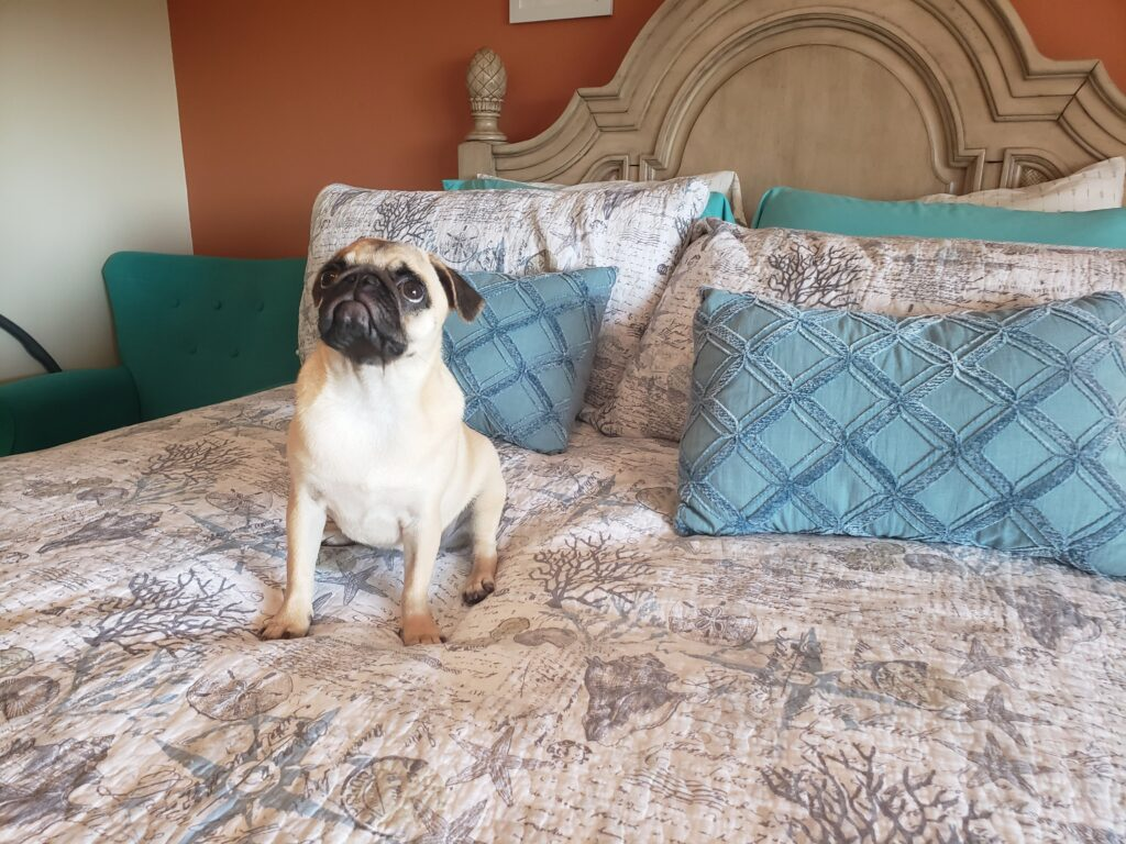 Honey the pug on a bed