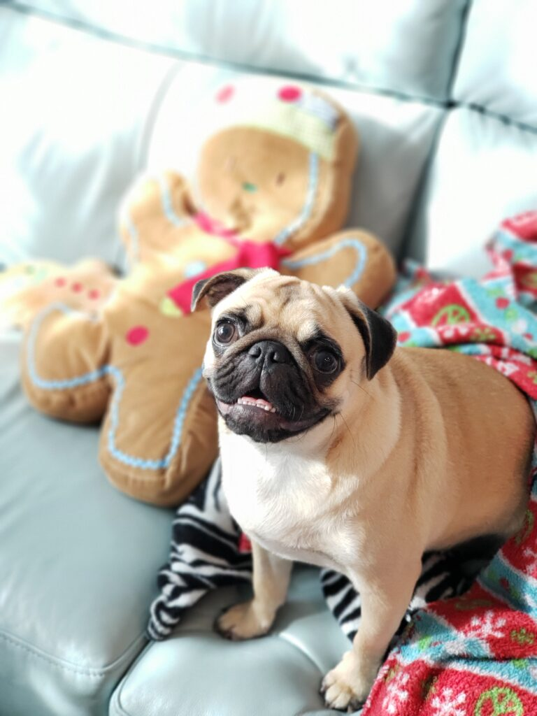pug waiting for the best gingerbread french toast